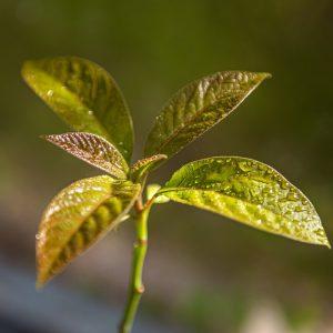 Planta do Abacate